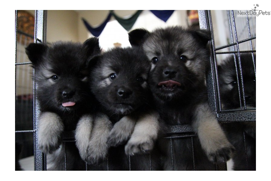 Keeshond Puppy For Sale Near Gold Country California 38339777 1f31