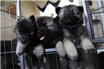 Featured Breeder of Keeshonds with Puppies For Sale