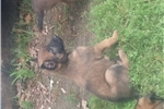 Picture of Super Belgian Malinois for home, sport or Police