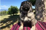 Caucasian Mountain Dog for sale