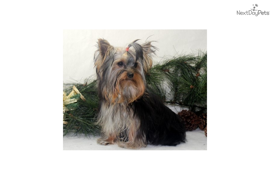yorkie breeders in colorado posil yorkshire terrier yorkie puppy for sale near 2350