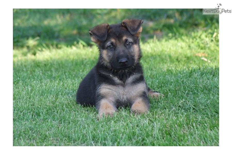 German Shepherd Puppy For Sale Near Me Craigslist 025345 – Desenhos