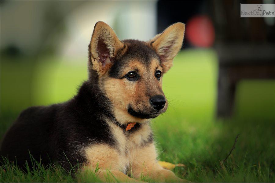 Male: German Shepherd Puppy For Sale Near Me In India