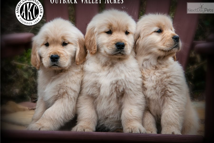 Miles Golden Retriever Puppy For Sale Near Pittsburgh Pennsylvania