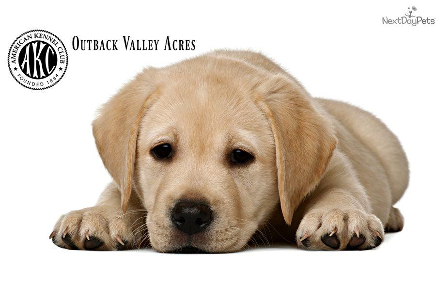 Baxter Labrador Retriever Puppy For Sale Near Pittsburgh