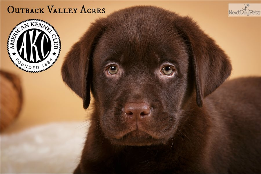 Hero Labrador Retriever Puppy For Sale Near Pittsburgh