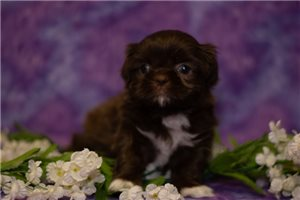 Saphire | Puppy at 7 weeks of age for sale