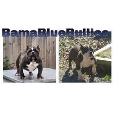 View full profile for Bama Blue Bullies