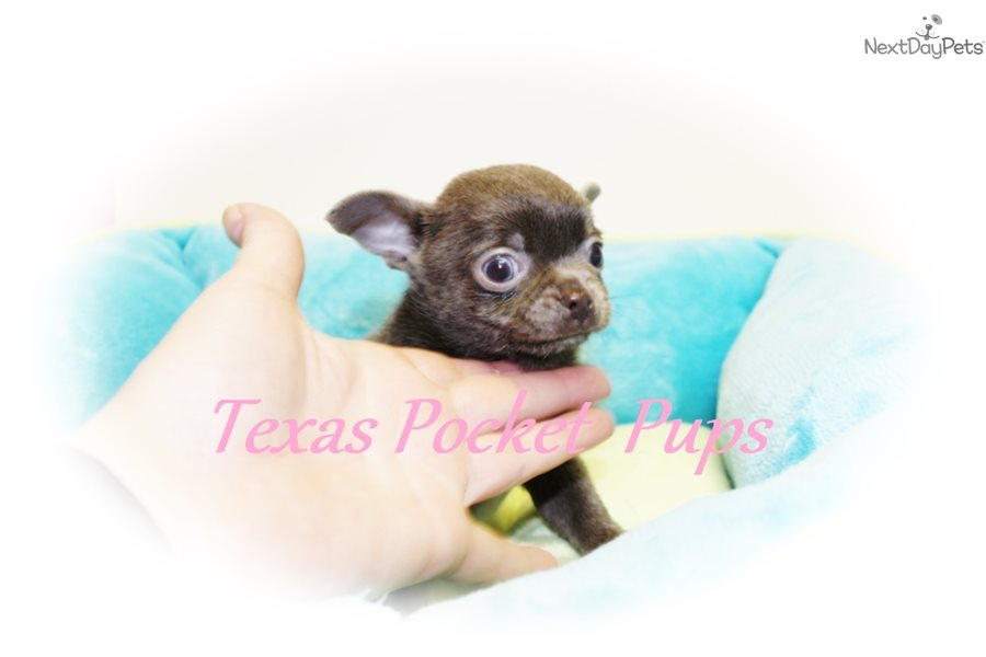 Smurf: Chihuahua puppy for sale near Houston, Texas | f9f14a05-fd91