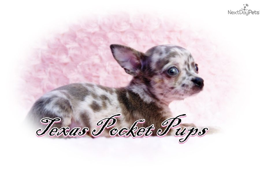 Pica Chihuahua Puppy For Sale Near Houston Texas 67fa741b 8561