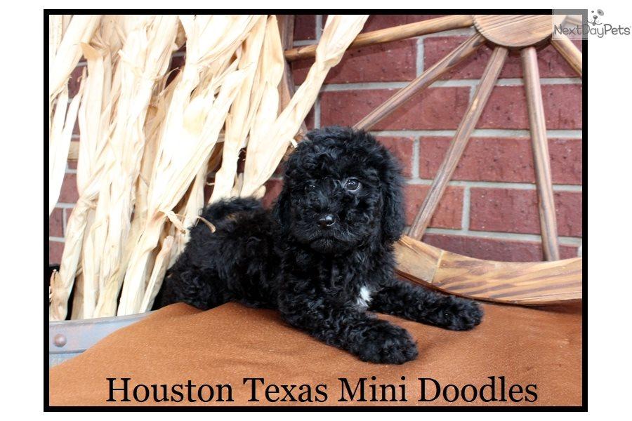 Jitterbug Labradoodle Puppy For Sale Near Houston Texas