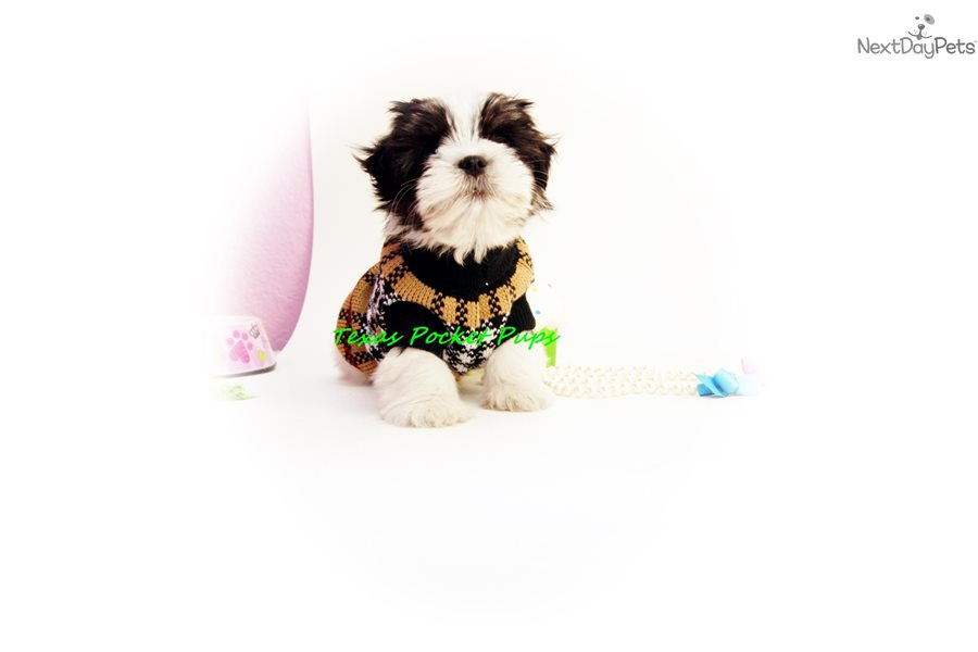 Milo Mal Shi Malshi Puppy For Sale Near Houston Texas 84694437