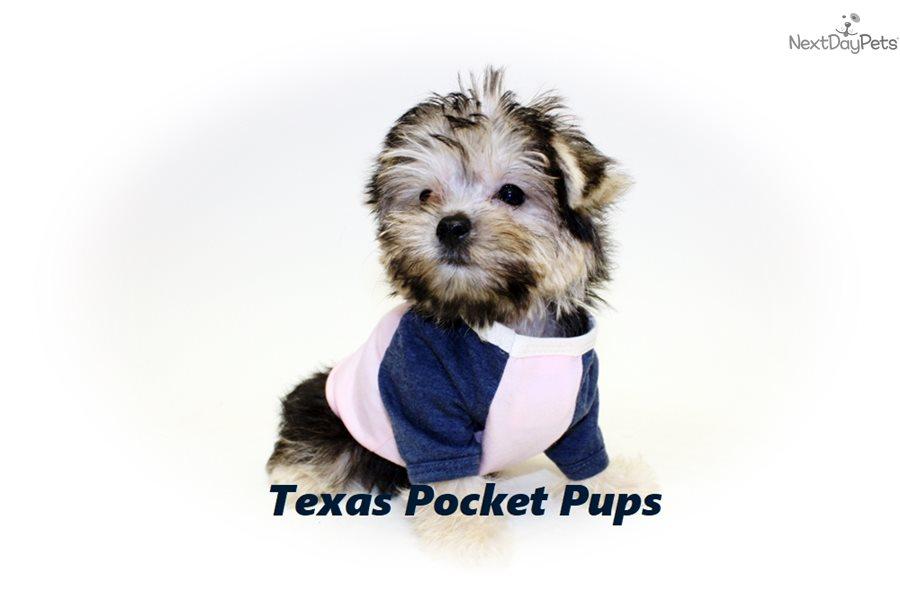Mindy: Morkie / Yorktese puppy for sale near Houston Texas USA