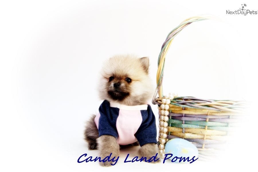 Cinnabear Pomeranian Puppy For Sale Near Houston Texas Bdf3803c E831