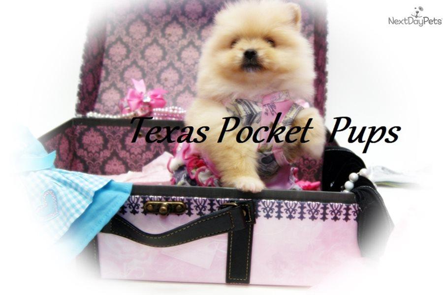 Cashmere: Pomeranian puppy for sale near Houston, Texas