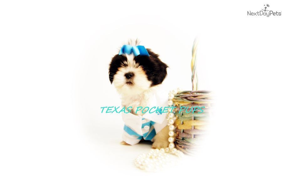 Cookie Shih Tzu Puppy For Sale Near Houston Texas B908649d 4a81