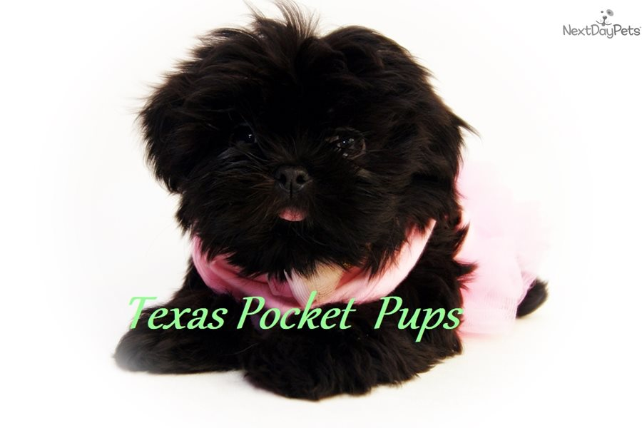 Blackberry Shih Tzu Puppy For Sale Near Houston Texas Bf6aeb1e 8041