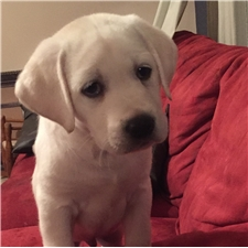 View full profile for Heritage Labradors
