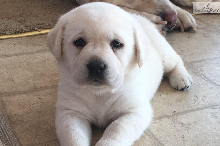 Snow White: Labrador Retriever puppy for sale near