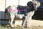 Picture of Beautiful Boerboel Puppies