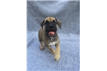 Picture of Boerboel-6 wk male Right Hand Man
