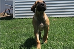 Picture of Boerboel puppy