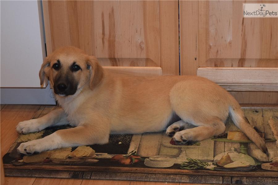 Fermale German Shepherd Puppy For Sale Near East Idaho Idaho