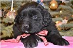 Picture of Saint Bernewfie Female Christmas Puppy