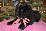 Picture of St. Bernewfie Female Christmas Puppy