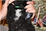 Picture of Saint Bernewfie Male Christmas Puppy