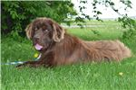 Picture of AKC Bronze Male Newfoundland