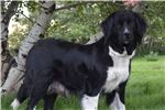 Picture of AKC Female Newfoundland