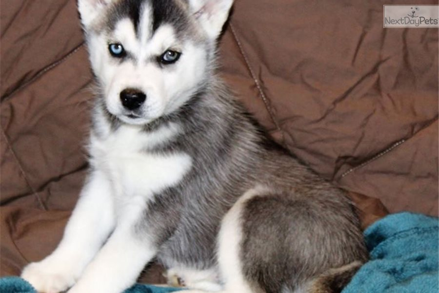 Siberian Husky Puppy For Sale Near Nashville Tennessee 07f9b0a1 8d71