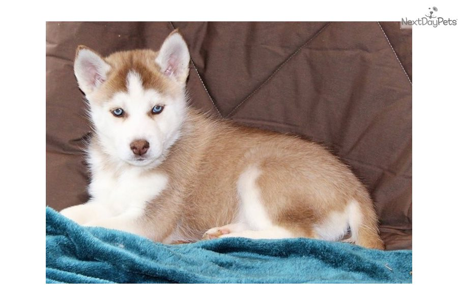 Siberian Husky Puppy For Sale Near Nashville Tennessee Dee9c187 19e1