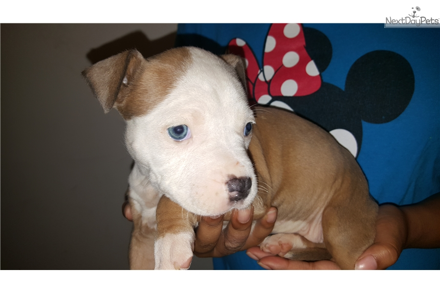 American Staffordshire Terrier Puppy For Sale Near Western