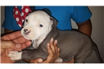 Picture of female #2 American Staffordshire Terrier pup