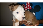 Picture of female #4  American Staffordshire Terrier pup