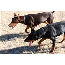 View full profile for Desert Dobermans