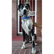 View full profile for Tigerlily Great Danes