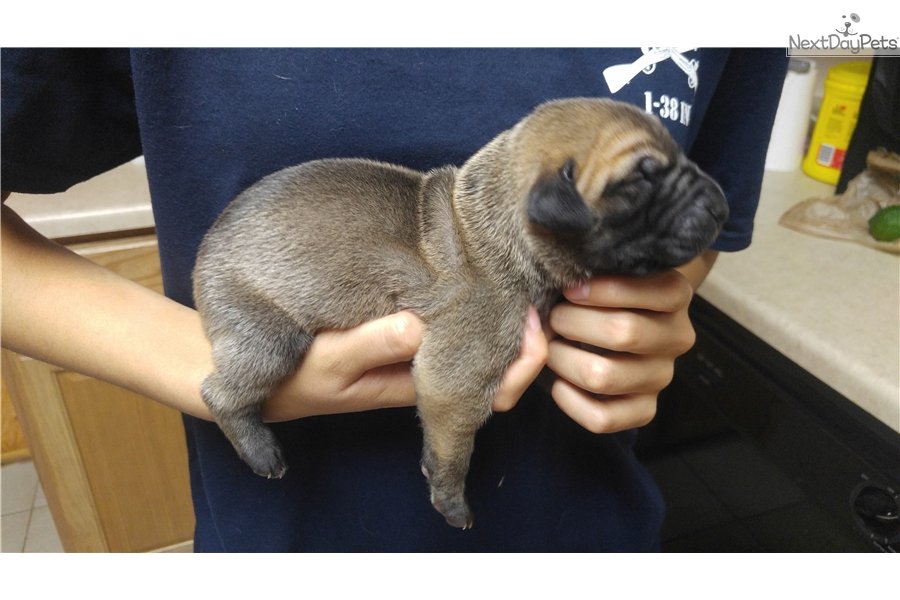 Ares Great Dane Puppy For Sale Near Colorado Springs Colorado