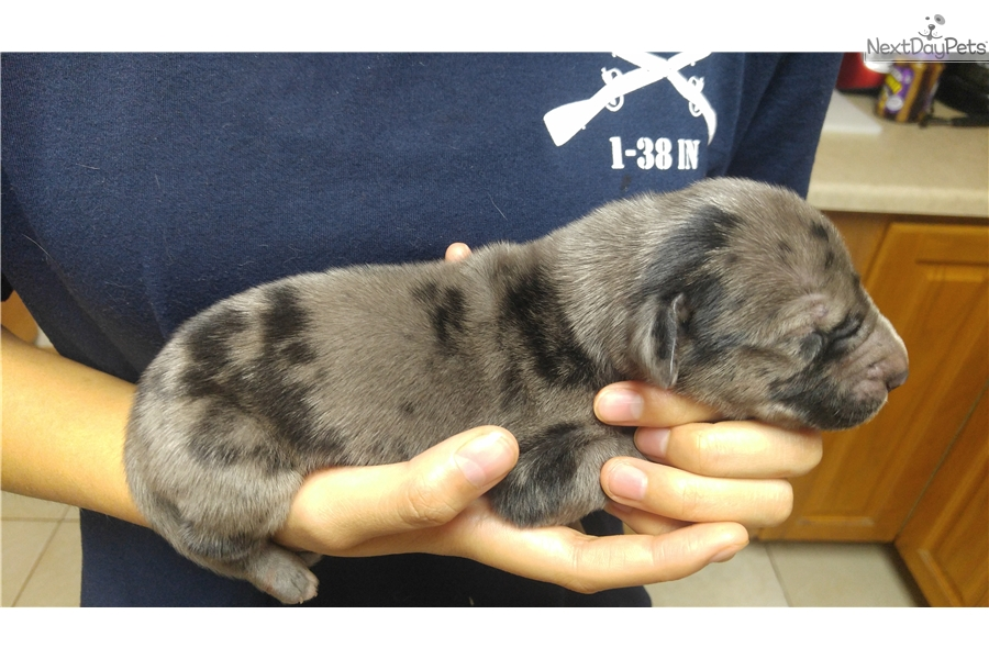 Zeus: Great Dane puppy for sale near Colorado Springs