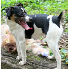 View full profile for Harmony Rat Terriers