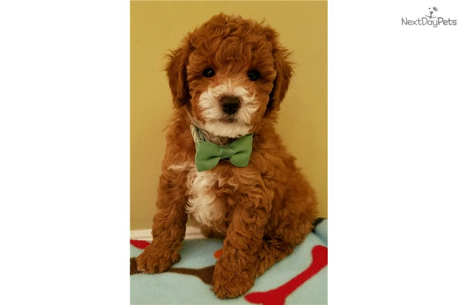 Ranger Poodle Toy Puppy For Sale Near Charleston South