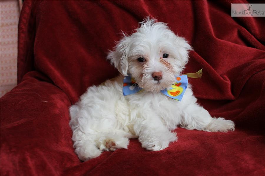 Havanese puppy for sale near Atlanta, Georgia | 65ce0328-f651