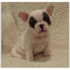 View full profile for Silverlining French Bulldogs