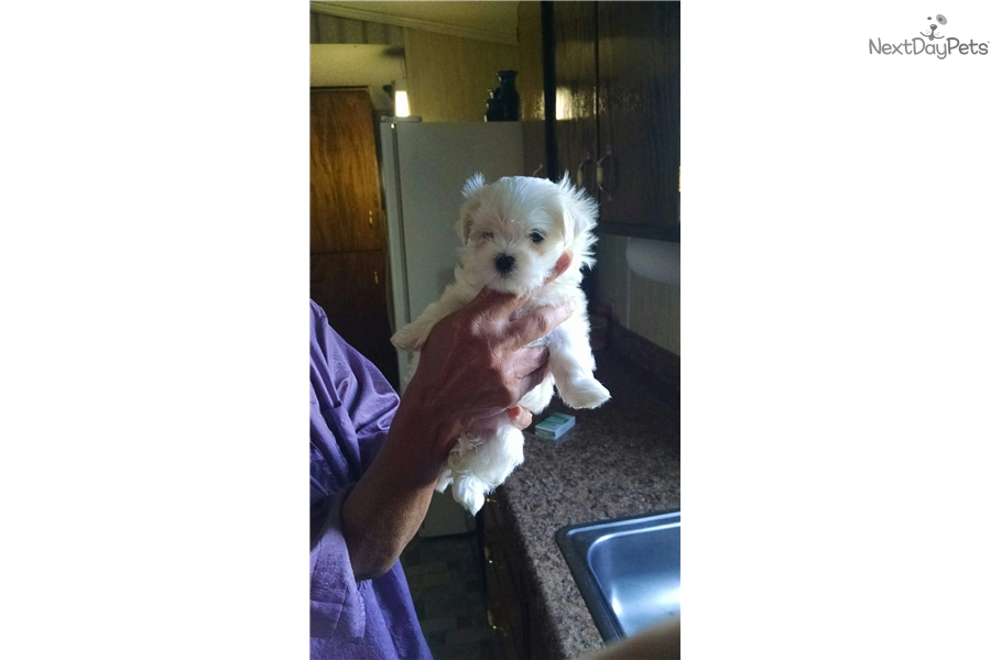 Runt Maltese Puppy For Sale Near Southern Illinois