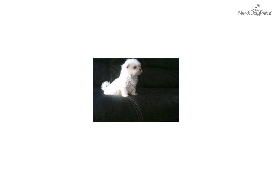 Maltese Puppy For Sale Near Southern Illinois Illinois