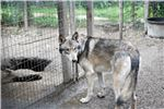 Picture of Wonderful Wolfdog pup Female