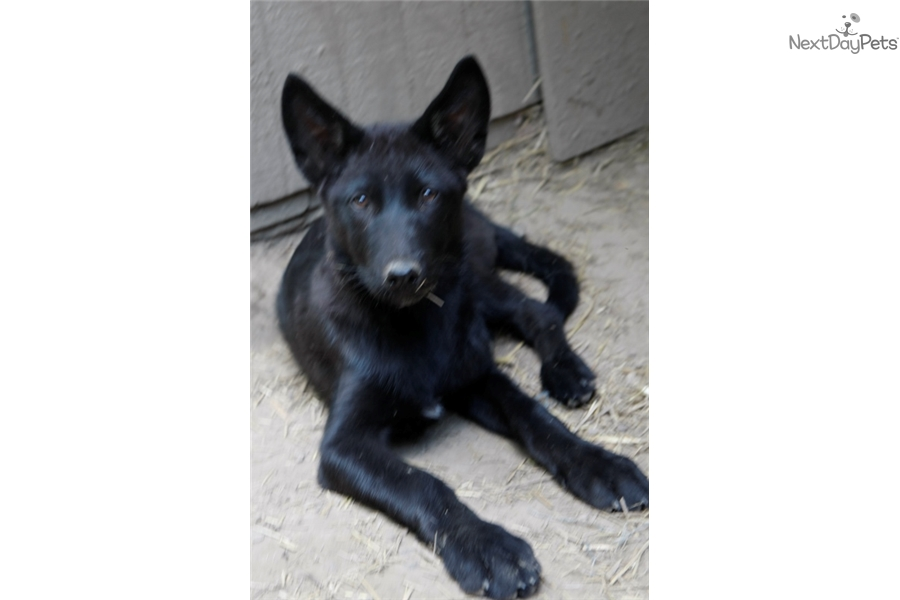 Wolf Hybrid puppy for sale near Richmond, Indiana | a94f7e18-61d1