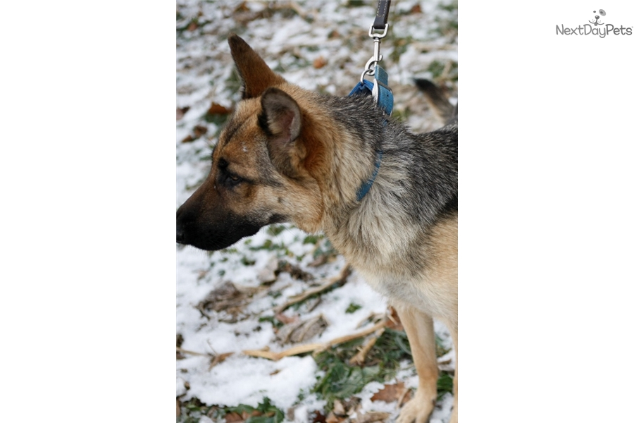 wolf hybrid puppy for sale near richmond indiana. Black Bedroom Furniture Sets. Home Design Ideas
